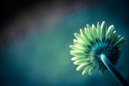 ayçiçeği