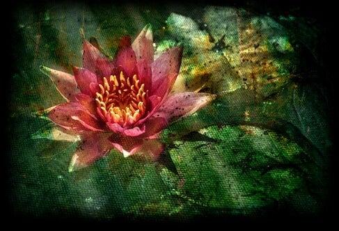sudaki nilüfer çiçeği