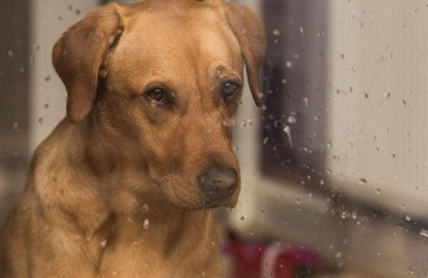 yağmurda camdan bakan köpek