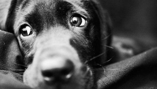 siyah üzgün köpek