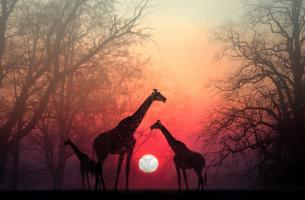günbatımı ve zürafalar