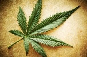 marihuana yaprağının fotoğrafı