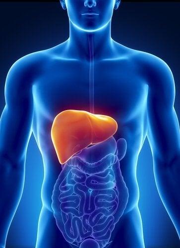 insan vücudu ve karaciğer