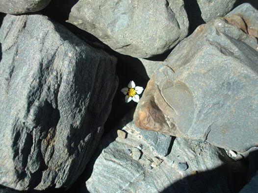 kayaların arasından çıkan beyaz çiçek