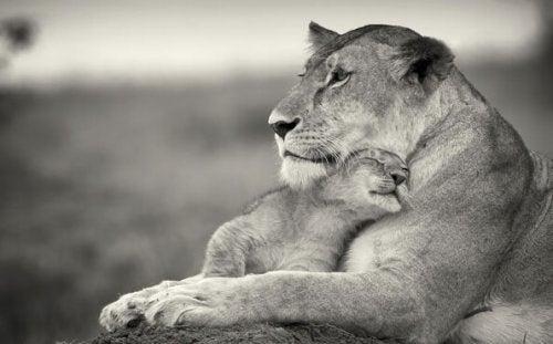 sarılan anne ve yavru aslanlar