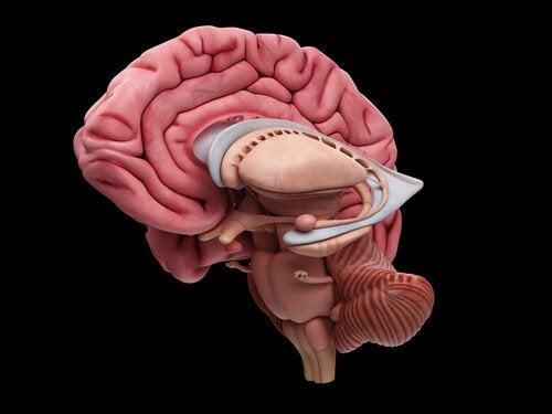 beynin iç yapısı
