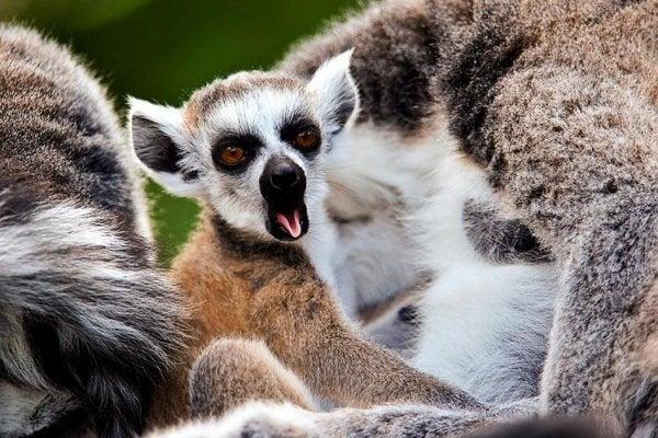 esneyen madagaskar maymunu