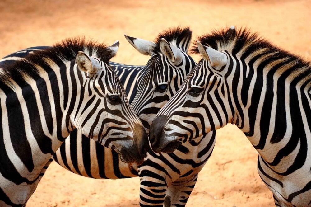 üç zebra beraber