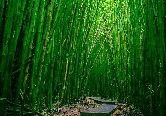 bambuların arasında patika