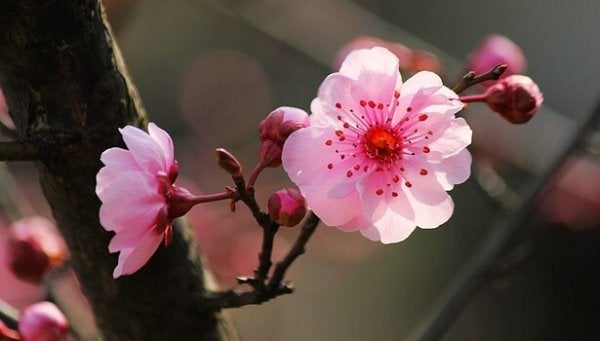 kiraz ağacı çiçeği