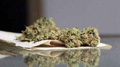 kuru marihuana