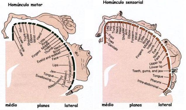Penfield Homunkulüs