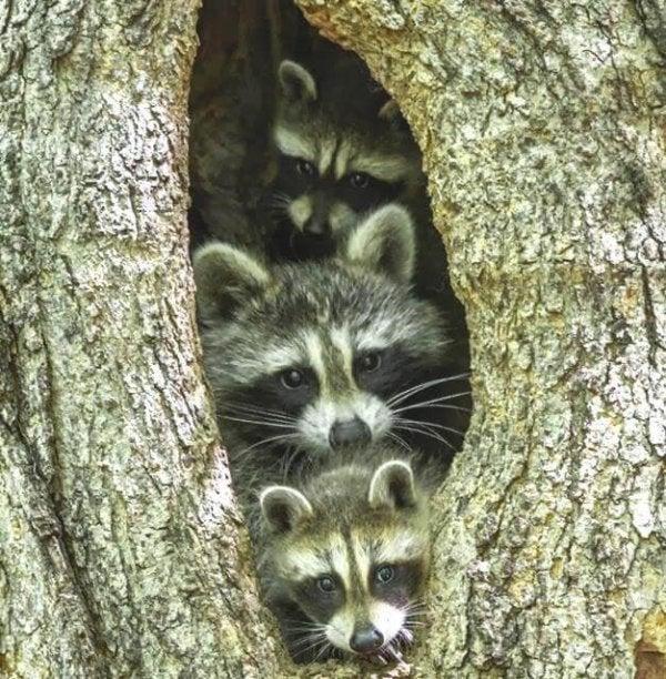rakun ailesi ağaçtan bakıyor