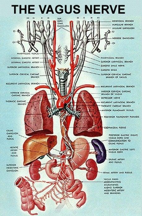 vagus siniri ve organlar