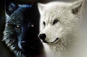 siyah ve beyaz kurt yan yana