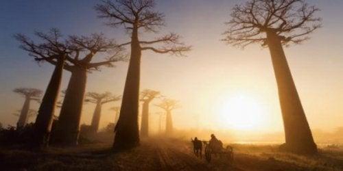 afrika'daki baobab ağaçalrı