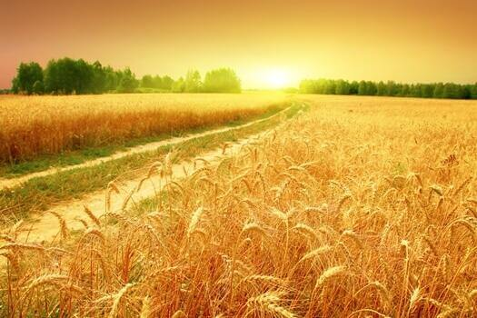 sapsarı buğday tarlaları