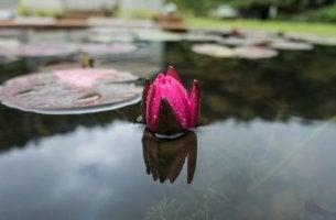 suyun üzerinde pembe bir çiçek