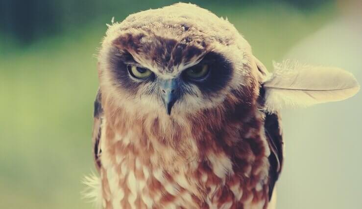 Kızgın baykuş