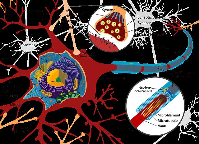 sinir yapısının şeması