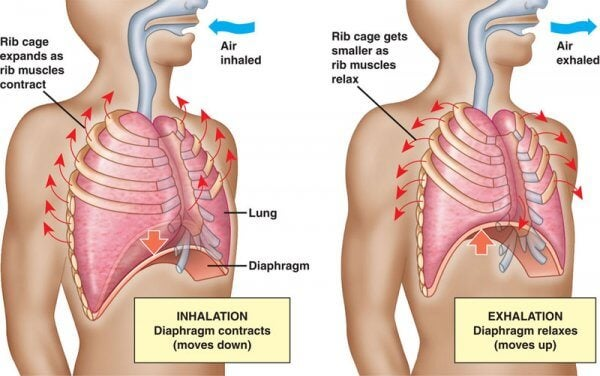 solunum sistemi çizim