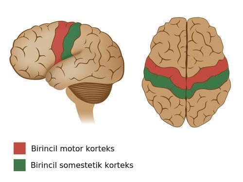 motor korteks