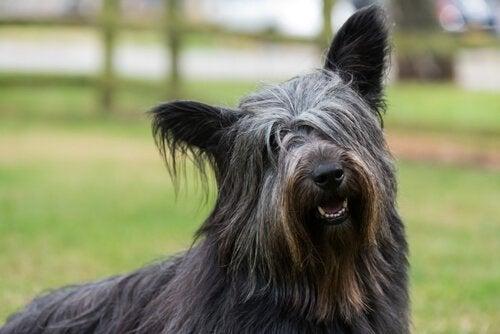 siyah skye terrier