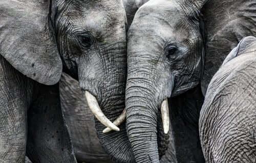 Sarılıyor gibi görünen iki fil.
