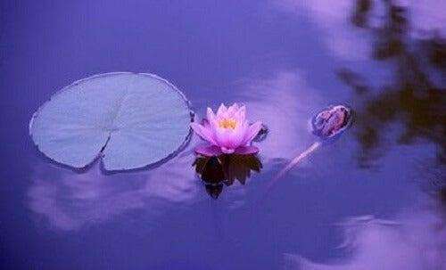 Bir lotus çiçeği.