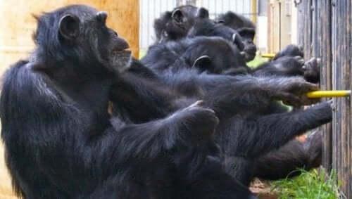 şempanze grubu