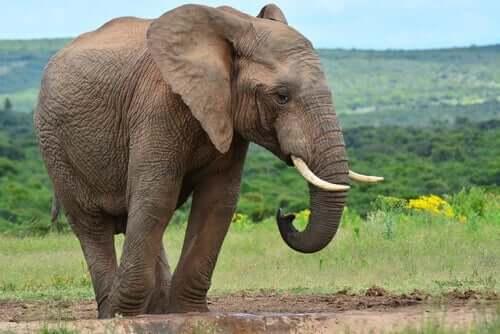 yavru fil otlakların içinde uzaklara bakıyor ve başkalarının görüşlerini önemsemek