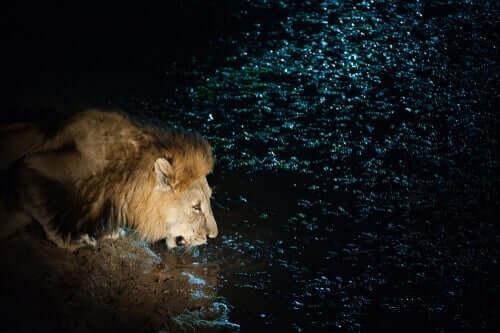 Su içen bir aslan.