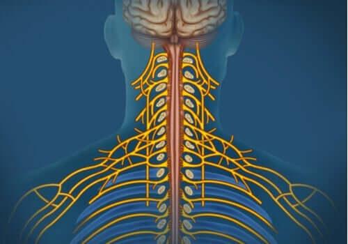 Somatik Sinir Sistemi: Özellikleri ve İşlevleri