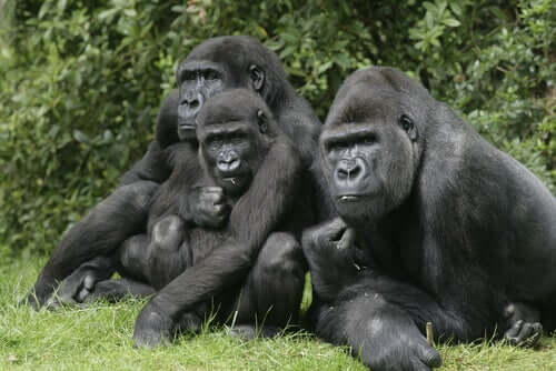 Goril grubu