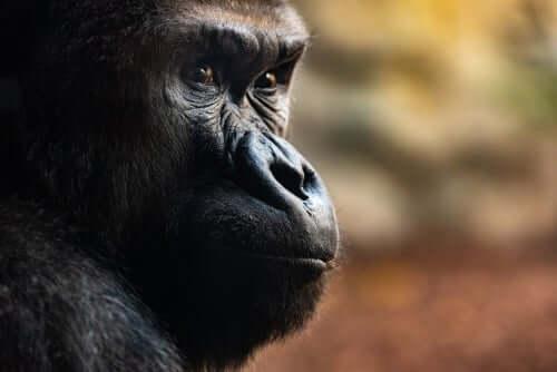 Gorillerin Düzenlediği 3 Etkileyici Cenaze Töreni