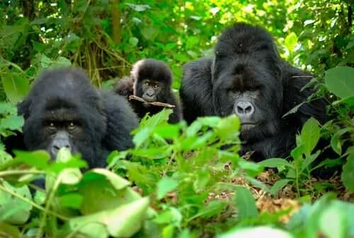 Goriller