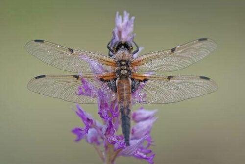 mor renkli yusufçuk uçuyor