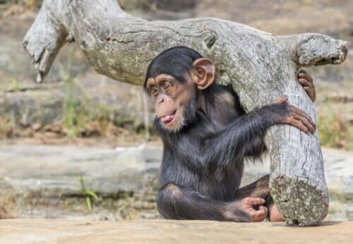Bir bebek şempanze.
