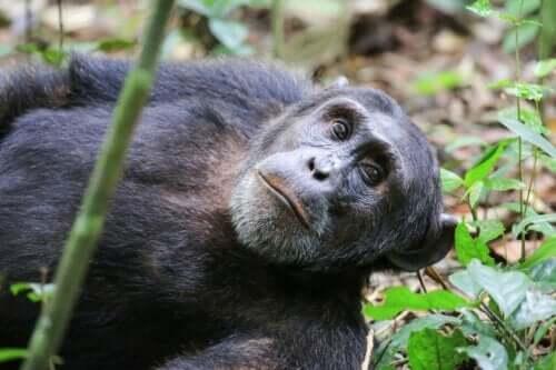 Bir Washoe Projesi şempanzesi.