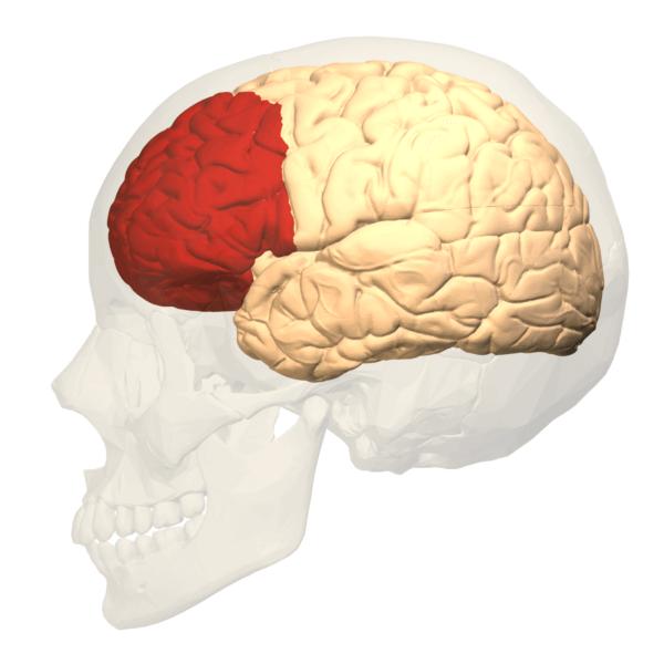 kafatası silüeti içinde beyin
